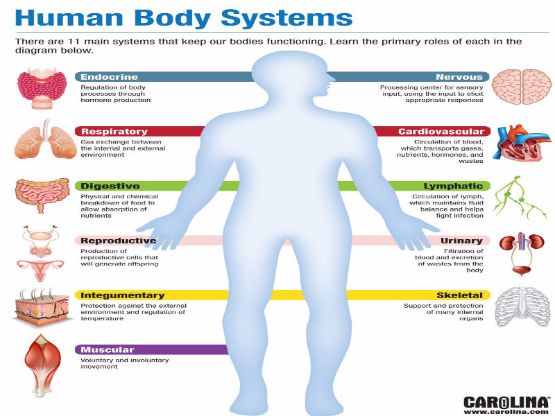 Human Body Systems puzzle